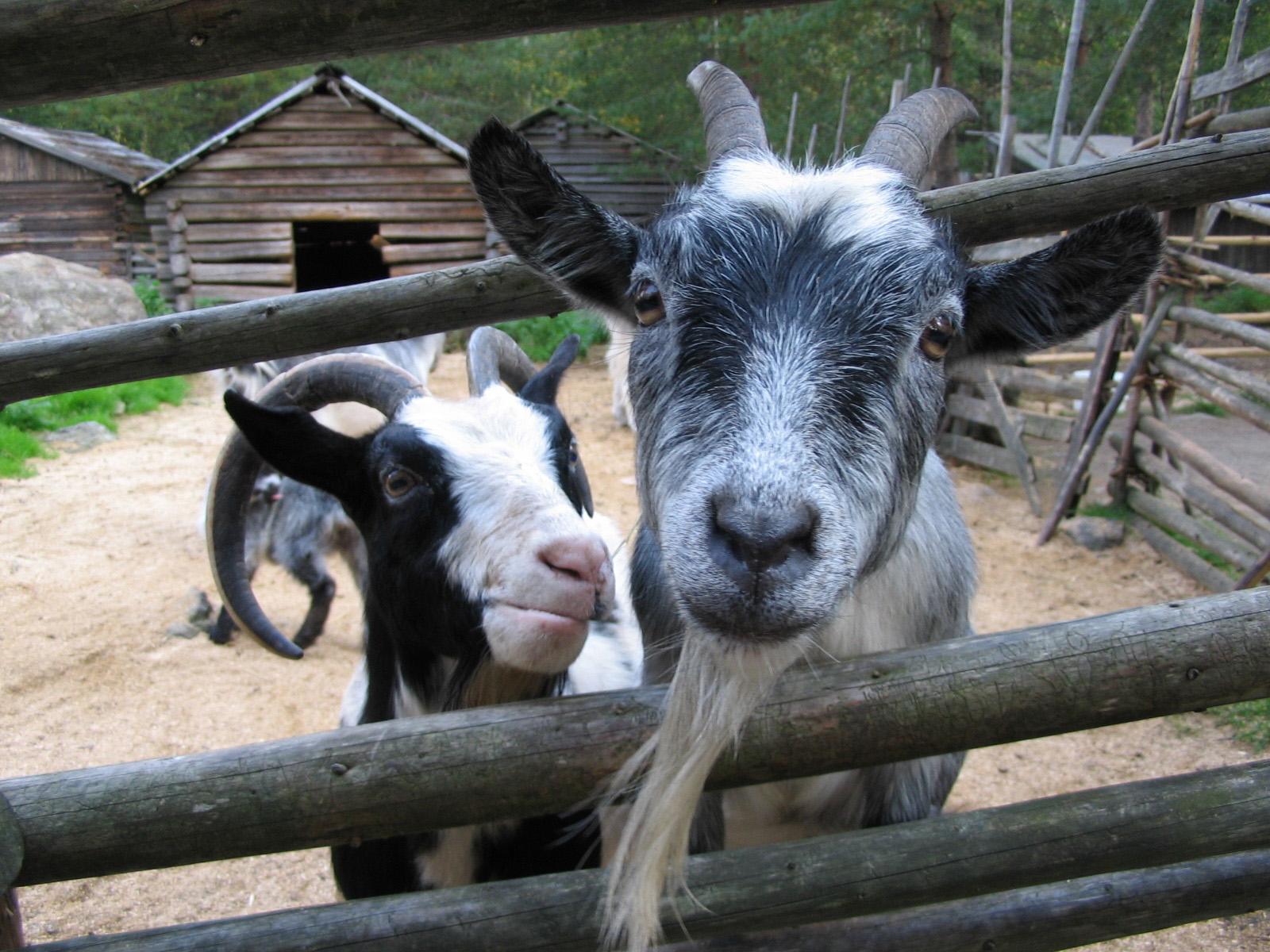 Toivosen eläinpuisto on koko perheen matkailukohde Kokkolassa. Kaksi vuohta katselee aidan raosta kohti kuvaajaa.