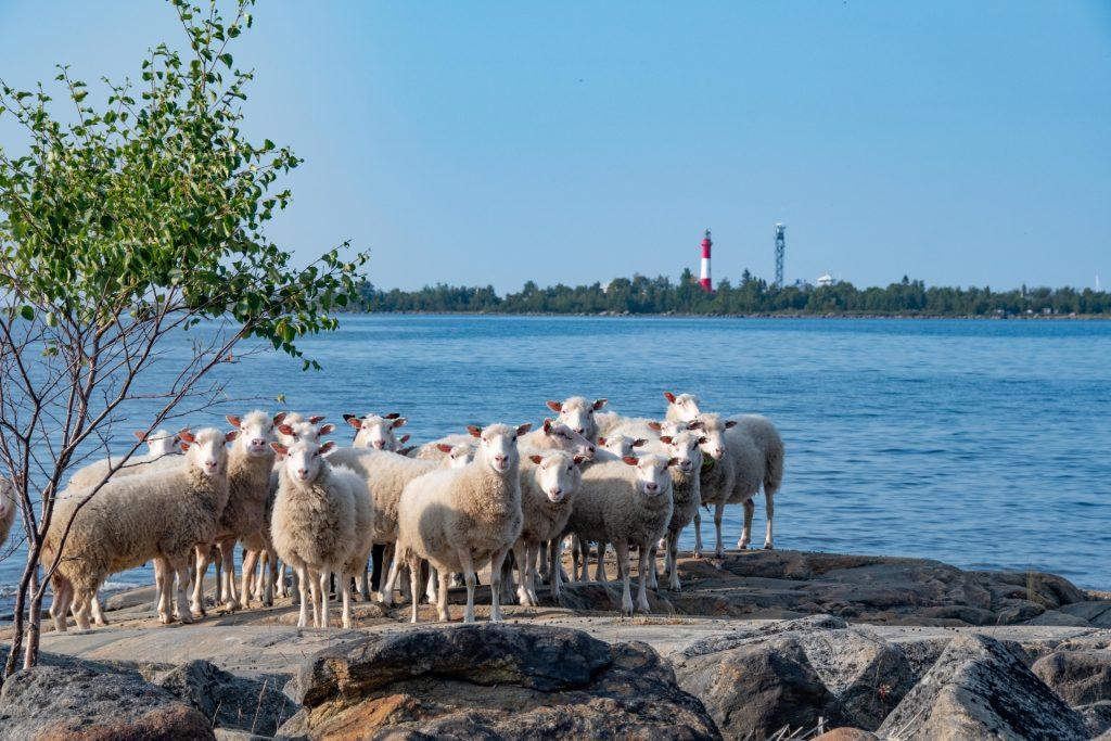 Lammaslauma ihmettelee maailman menoa Tankarin edustalla olevalla saarella. Kaunis kesäpäivä valaisee myös Tankarin taustalla. Kuvaaja Hannu Tikkanen.