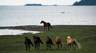 Kokkolan luonnossa, meren rannalla kuusi hevosta nauttii kesäisestä päivästä. Kuvaaja Miia Parviainen.