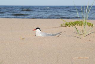 Meren läheisyydessä pesii useita lintulajeja. Lapintiira nauttii kesäpäivästä hiekalla, meren kuohuessa taustalla. Kuvaaja Hannu Tikkanen.