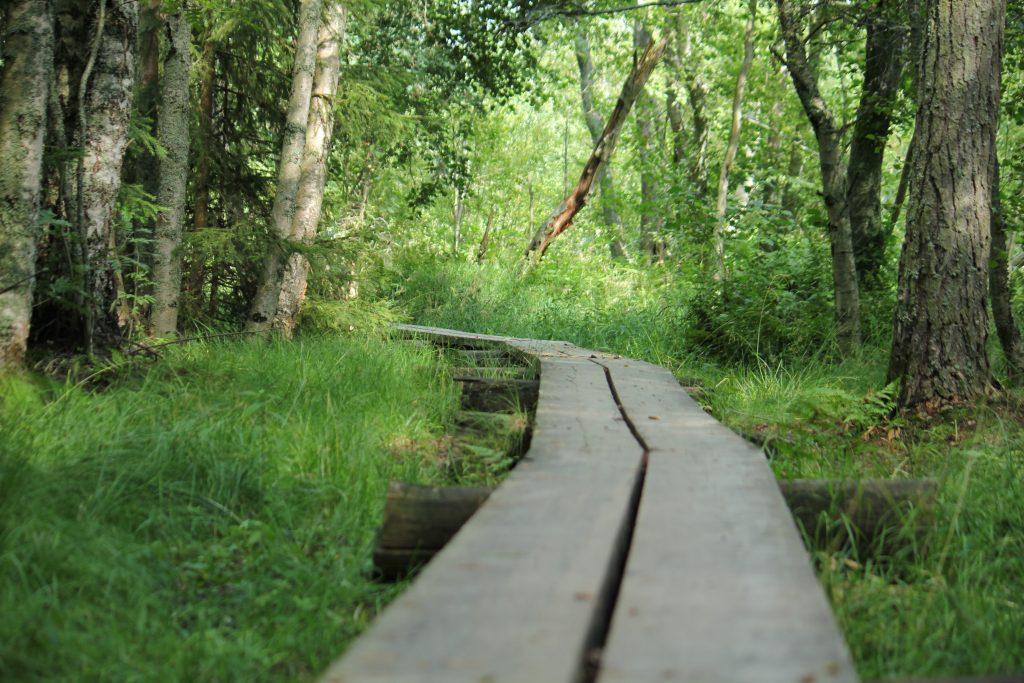 Pitkospuut vihreässä metsässä